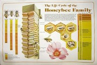 Honey Bee Life Cycle Wall Chart